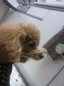 愛犬鈴ちゃん~トイプードル☆ライフスタイル~-2012013121180000.jpg