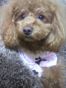 愛犬鈴ちゃん~トイプードル☆ライフスタイル~-2012020119290000.jpg
