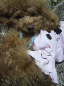 愛犬鈴ちゃん~トイプードル☆ライフスタイル~-2012020119350001.jpg