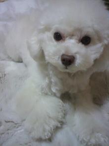 愛犬鈴ちゃん~トイプードル☆ライフスタイル~-2012020318340000.jpg