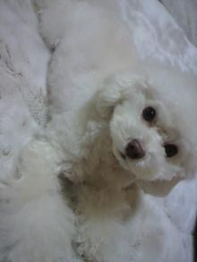 愛犬鈴ちゃん~トイプードル☆ライフスタイル~-2012020318340001.jpg