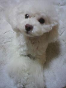 愛犬鈴ちゃん~トイプードル☆ライフスタイル~-2012020318360001.jpg
