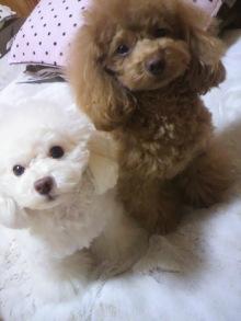 愛犬鈴ちゃん~トイプードル☆ライフスタイル~-2012020318370000.jpg