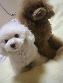 愛犬鈴ちゃん~トイプードル☆ライフスタイル~-2012020318370001.jpg