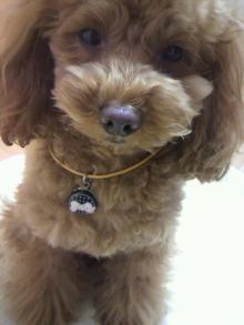 愛犬鈴ちゃん~トイプードル☆ライフスタイル~-2012020422020000.jpg