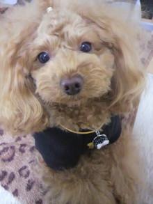 愛犬鈴ちゃん~トイプードル☆ライフスタイル~-2012020814140001.jpg