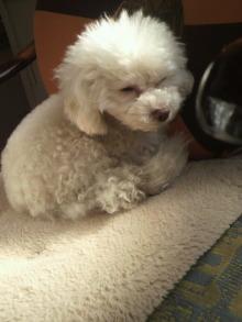 愛犬鈴ちゃん~トイプードル☆ライフスタイル~-2012021110100001.jpg