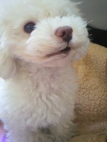 愛犬鈴ちゃん~トイプードル☆ライフスタイル~-2012021110120001.jpg