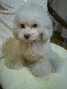 愛犬鈴ちゃん~トイプードル☆ライフスタイル~-2012021220420000.jpg