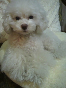 愛犬鈴ちゃん~トイプードル☆ライフスタイル~-2012021220430000.jpg
