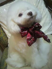 愛犬鈴ちゃん~トイプードル☆ライフスタイル~-2012021222000001.jpg