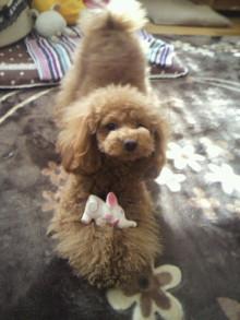 愛犬鈴ちゃん~トイプードル☆ライフスタイル~-2012021311150000.jpg