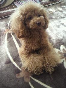 愛犬鈴ちゃん~トイプードル☆ライフスタイル~-2012021311160000.jpg