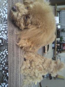 愛犬鈴ちゃん~トイプードル☆ライフスタイル~-2012021311500000.jpg