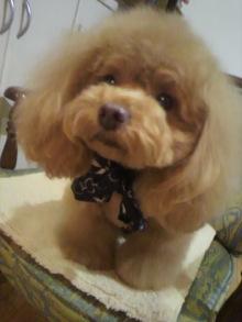 愛犬鈴ちゃん~トイプードル☆ライフスタイル~-2012021321000000.jpg