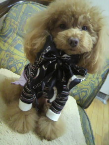 愛犬鈴ちゃん~トイプードル☆ライフスタイル~-2012021409140000.jpg
