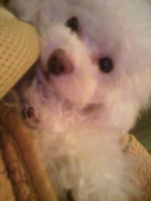 愛犬鈴ちゃん~トイプードル☆ライフスタイル~-2012021423000001.jpg