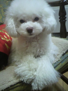 愛犬鈴ちゃん~トイプードル☆ライフスタイル~-2012021614280000.jpg