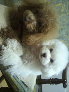 愛犬鈴ちゃん~トイプードル☆ライフスタイル~-2012021614280001.jpg