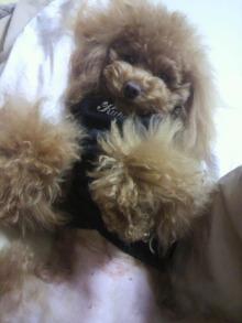 愛犬鈴ちゃん~トイプードル☆ライフスタイル~-2012022122580000.jpg