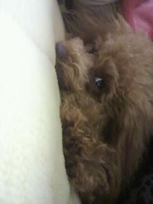 愛犬鈴ちゃん~トイプードル☆ライフスタイル~-2012022122520000.jpg