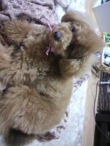 愛犬鈴ちゃん~トイプードル☆ライフスタイル~-2011032920380000.jpg