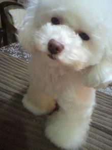 愛犬鈴ちゃん~トイプードル☆ライフスタイル~-2012030320160000.jpg