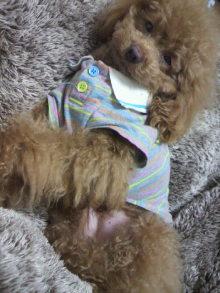 愛犬鈴ちゃん~トイプードル☆ライフスタイル~-2012030900460000.jpg