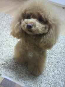 愛犬鈴ちゃん~トイプードル☆ライフスタイル~-2012031716280001.jpg