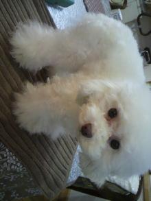 愛犬鈴ちゃん~トイプードル☆ライフスタイル~-2012031016590000.jpg