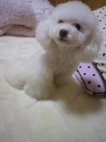 愛犬鈴ちゃん~トイプードル☆ライフスタイル~-2012031018300000.jpg