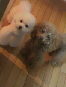 愛犬鈴ちゃん~トイプードル☆ライフスタイル~-2012031018500000.jpg