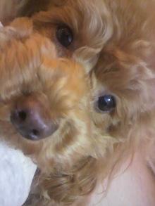 愛犬鈴ちゃん~トイプードル☆ライフスタイル~-2012032119230000.jpg
