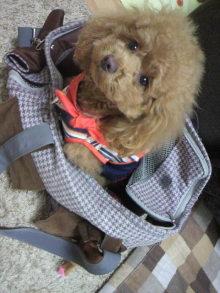 愛犬鈴ちゃん~トイプードル☆ライフスタイル~-2012032211340000.jpg
