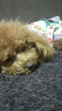 愛犬鈴ちゃん~トイプードル☆ライフスタイル~-2012032214510001.jpg