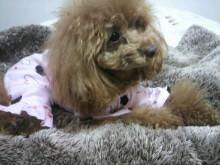 愛犬鈴ちゃん~トイプードル☆ライフスタイル~-2012032900030000.jpg