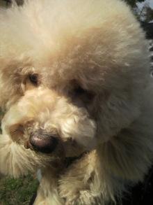 愛犬鈴ちゃん~トイプードル☆ライフスタイル~-2012040115110002.jpg