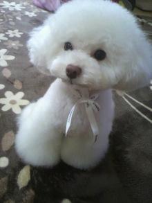 愛犬鈴ちゃん~トイプードル☆ライフスタイル~-2012040314260000.jpg