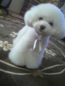 愛犬鈴ちゃん~トイプードル☆ライフスタイル~-2012040314270000.jpg