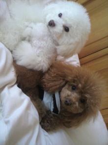 愛犬鈴ちゃん~トイプードル☆ライフスタイル~-2012040410520000.jpg