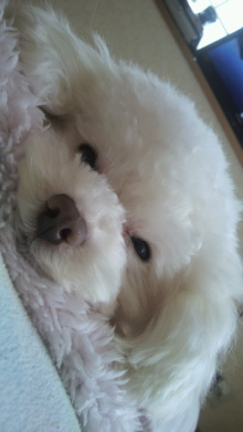 愛犬鈴ちゃん~トイプードル☆ライフスタイル~-2012040411450000.jpg