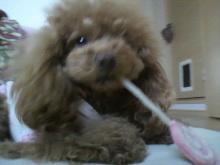 愛犬鈴ちゃん~トイプードル☆ライフスタイル~-2012040616240000.jpg