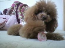 愛犬鈴ちゃん~トイプードル☆ライフスタイル~-2012040616240001.jpg