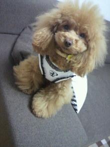愛犬鈴ちゃん~トイプードル☆ライフスタイル~-2012040811450001.jpg