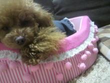 愛犬鈴ちゃん~トイプードル☆ライフスタイル~-2012041100380000.jpg