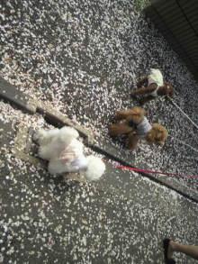 愛犬鈴ちゃん~トイプードル☆ライフスタイル~-2012041510210000.jpg