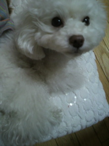 愛犬鈴ちゃん~トイプードル☆ライフスタイル~-2012041413270000.jpg