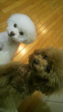 愛犬鈴ちゃん~トイプードル☆ライフスタイル~-2012042020550000.jpg