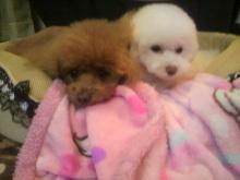 愛犬鈴ちゃん~トイプードル☆ライフスタイル~-2012042021110000.jpg