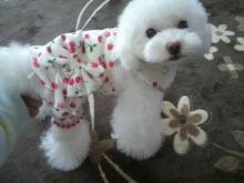 愛犬鈴ちゃん~トイプードル☆ライフスタイル~-2012042110130000.jpg